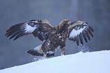 Turkey vulture dating