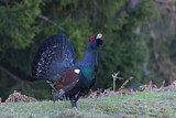 Western Capercaillie