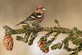 Two-barred Crossbill