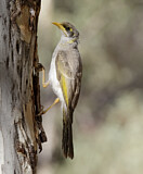Yellow-throated Miner