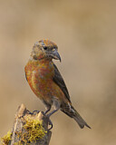 102272 - Red Crossbill (Loxia curvirostra) male, Oregon, USA