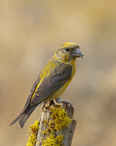 102273 - Red Crossbill (Loxia curvirostra) male, Oregon, USA