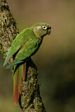 108167 - Maroon-bellied Parakeet (Pyrrhura frontalis) perched on a branch, Atlantic rainforest, Brazil