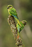 108168 - Maroon-bellied Parakeet (Pyrrhura frontalis) perched on a branch, Atlantic rainforest, Brazil