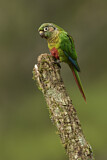 108169 - Maroon-bellied Parakeet (Pyrrhura frontalis) perched on a branch, Atlantic rainforest, Brazil