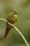 108170 - Maroon-bellied Parakeet (Pyrrhura frontalis) perched on a branch, Atlantic rainforest, Brazil
