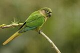 108171 - Maroon-bellied Parakeet (Pyrrhura frontalis) perched on a branch, Atlantic rainforest, Brazil