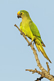 108174 - Peach-fronted Parakeet (Eupsittula aurea) perched on a branch, Pantanal, Brazil