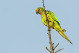 108176 - Peach-fronted Parakeet (Eupsittula aurea) perched on a branch, Pantanal, Brazil