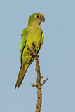 108177 - Peach-fronted Parakeet (Eupsittula aurea) perched on a branch, Pantanal, Brazil