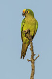 108178 - Peach-fronted Parakeet (Eupsittula aurea) perched on a branch, Pantanal, Brazil