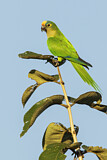 108179 - Peach-fronted Parakeet (Eupsittula aurea) perched on a branch, Pantanal, Brazil