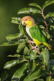 108253 - White-bellied Parrot (Pionites leucogaster) perched on a branch, Brazil