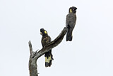 108444 - Yellow-tailed Black Cockatoo (Calyptorhynchus funereus) pair perched on a branch, Victoria, Australia