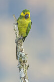 108563 - Yellow-eared Parrot (Ognorhynchus icterotis) perched on a branch, Colombia