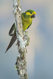 108564 - Yellow-eared Parrot (Ognorhynchus icterotis) perched on a branch, Colombia