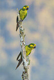 108566 - Yellow-eared Parrot (Ognorhynchus icterotis) perched on a branch, Colombia