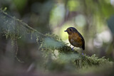 108596 - Slaty-crowned Antpitta (Grallaricula nana) perched on a branch, Rio Blanco Nature Reserve, Colombia