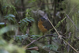 108597 - Slaty-crowned Antpitta (Grallaricula nana) perched on a branch, Rio Blanco Nature Reserve, Colombia