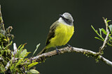 108732 - Grey-capped Flycatcher (Myiozetetes granadensis) perched on a branch, Costa Rica