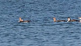 Black-throated Loon Video