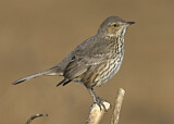 110687 - Sage Thrasher (Oreoscoptes montanus) perched on a branch, California, USA