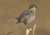 110688 - Sage Thrasher (Oreoscoptes montanus) perched on a branch, California, USA