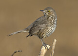 110689 - Sage Thrasher (Oreoscoptes montanus) perched on a branch, California, USA