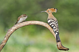 Eurasian Hoopoe & Red-backed Shrike