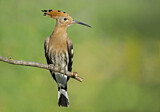 110818 - Eurasian Hoopoe (Upupa epops) perched on a branch, Aosta Valley, Italy