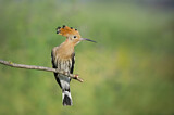 110819 - Eurasian Hoopoe (Upupa epops) perched on a branch, Aosta Valley, Italy