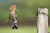 110820 - Eurasian Hoopoe (Upupa epops) perched on barbwire, Aosta Valley, Italy