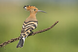 110824 - Eurasian Hoopoe (Upupa epops) perched on a branch, Aosta Valley, Italy