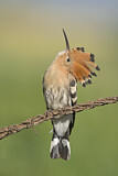 110828 - Eurasian Hoopoe (Upupa epops) perched on a branch, Aosta Valley, Italy