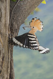 110838 - Eurasian Hoopoe (Upupa epops) at nest hole, Aosta Valley, Italy
