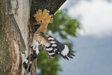 110842 - Eurasian Hoopoe (Upupa epops) feeding chick in nest hole, Aosta Valley, Italy