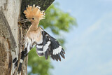 110843 - Eurasian Hoopoe (Upupa epops) feeding chick in nest hole, Aosta Valley, Italy