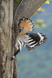 110845 - Eurasian Hoopoe (Upupa epops) feeding chick in nest hole, Aosta Valley, Italy