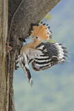 110846 - Eurasian Hoopoe (Upupa epops) feeding chick in nest hole, Aosta Valley, Italy