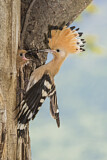 110847 - Eurasian Hoopoe (Upupa epops) feeding chick in nest hole, Aosta Valley, Italy
