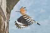 110849 - Eurasian Hoopoe (Upupa epops) at nest hole, Aosta Valley, Italy