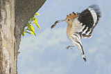 110850 - Eurasian Hoopoe (Upupa epops) feeding chick in nest hole, Aosta Valley, Italy