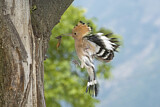 110851 - Eurasian Hoopoe (Upupa epops) at nest hole, Aosta Valley, Italy
