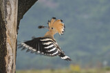 110852 - Eurasian Hoopoe (Upupa epops) at nest hole, Aosta Valley, Italy