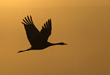 110905 - Common Crane (Grus grus) flying, Israel