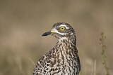 Spotted Thick-knee