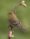 111183 - Lesser Goldfinch (Spinus psaltria) female perched on a branch, California, USA
