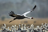 111545 - White-naped Crane (Grus vipio) flying, Arasaki, Japan