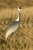 111549 - White-naped Crane (Grus vipio) on field, Arasaki, Japan