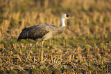 111551 - Hooded Crane (Grus monacha) on field, Arasaki, Japan